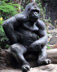 Gorilla Breastroke Swim